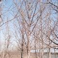 精品实生银杏树