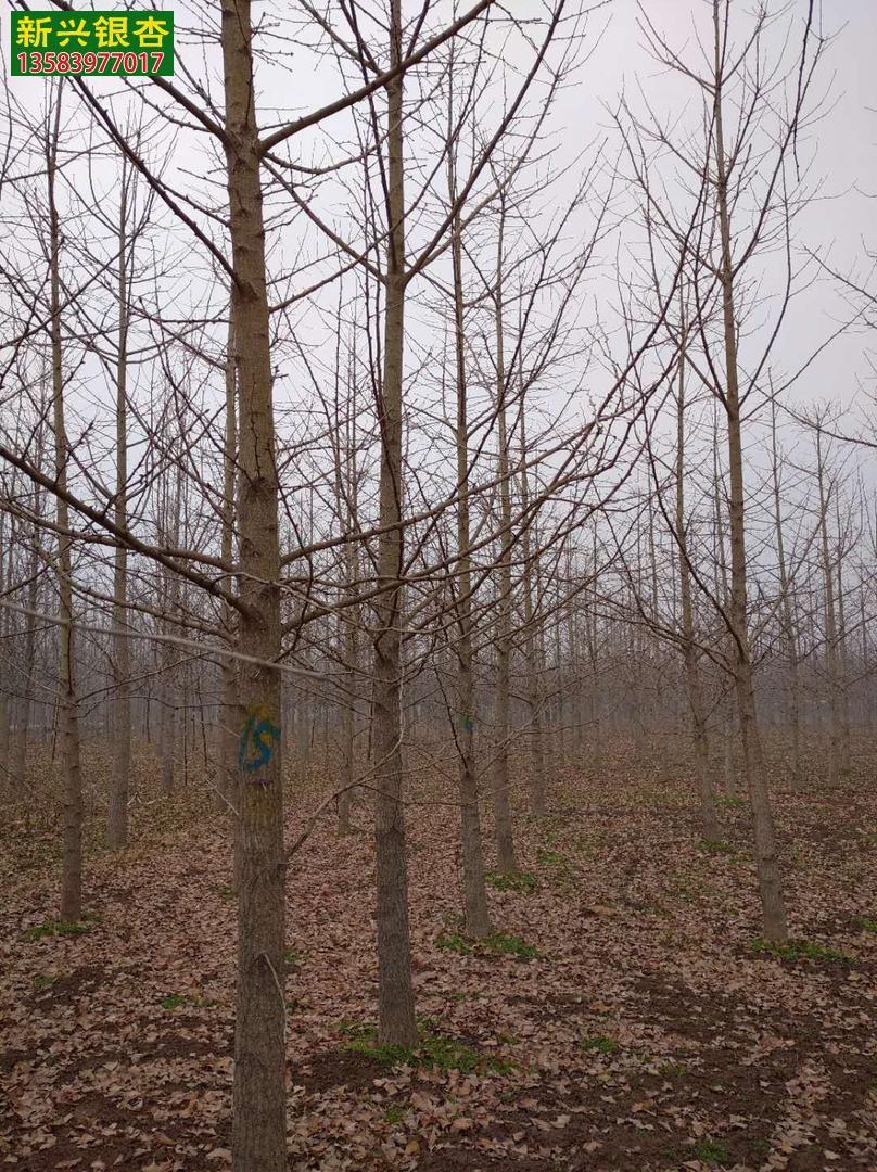10-12公分实生银杏苗木