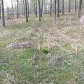 自家苗圃处理一批20-35公分实生银杏树苗木