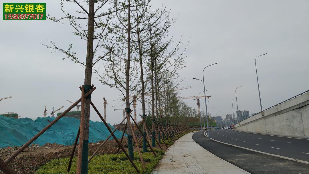 银杏树绿化案例实拍 行道树